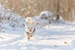 Perro havanese blanco que corre en la nieve Fotografía de archivo libre de regalías