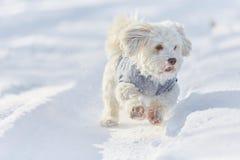 Perro havanese blanco que corre en la nieve Foto de archivo libre de regalías