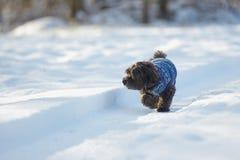 Perro havanese negro que camina en la nieve Imágenes de archivo libres de regalías