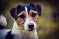 Perro hermoso Imagen de archivo libre de regalías