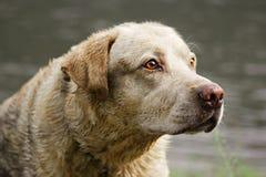Perro hermoso Foto de archivo libre de regalías