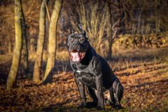Perro hermoso Bastón Corso Día asoleado del otoño Fotos de archivo