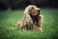 Perro hermoso con los oídos largos foto de archivo