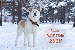Perro hermoso de la raza de Akita Inu del japonés en el bosque en invierno entre árboles y un congra Imágenes de archivo libres de regalías