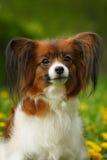 Perro hermoso de la raza Papillon Foto de archivo libre de regalías