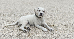 Perro hermoso de Labrador que escucha el comando en la educación escolar Imagen de archivo