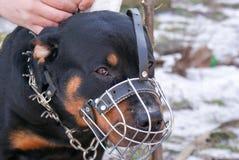 Perro hermoso de Rottweiler Imágenes de archivo libres de regalías