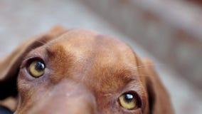 Perro hermoso de Vizsla metrajes