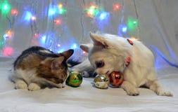 Perro hermoso del gato y de la chihuahua con las bolas de la Navidad foto de archivo