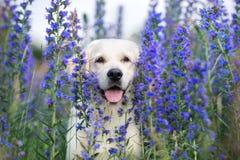 Perro hermoso del golden retriever en flores del verano foto de archivo libre de regalías