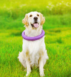 Perro hermoso del golden retriever que juega con el juguete de goma Foto de archivo libre de regalías
