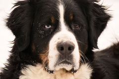 Perro hermoso del ojo azul Imagen de archivo