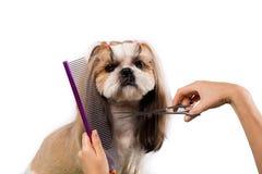 Perro hermoso del shih-tzu en las manos del ` s del groomer con el peine Imagen de archivo libre de regalías