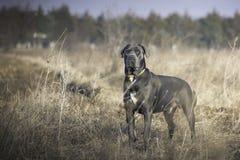Perro hermoso en campo que guarda su territorio Imagen de archivo libre de regalías