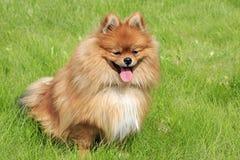 Perro hermoso en hierba verde Foto de archivo libre de regalías
