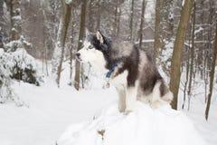 perro hermoso en la nieve Invierno Perro esquimal del bosque Imágenes de archivo libres de regalías