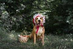 Perro hermoso en traje del hada-cuento de Halloween de poco casquillo rojo imágenes de archivo libres de regalías