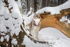 Perro hermoso en un bosque nevoso en el árbol Fornido Imágenes de archivo libres de regalías
