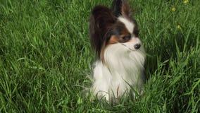 Perro hermoso Papillon que se sienta en césped verde y que come el vídeo común de la cantidad de la hierba metrajes
