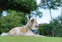 Perro hermoso que coloca en la hierba en el jardín Imágenes de archivo libres de regalías
