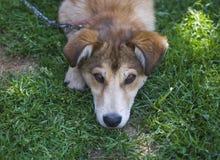 Perro hermoso que descansa en hierba verde en día de verano caliente Foto de archivo
