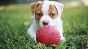 Perro hermoso que juega con una bola roja en la hierba