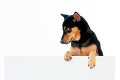 Perro hermoso sobre la cartelera Imagen de archivo