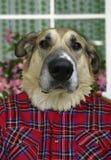 Perro humano Foto de archivo
