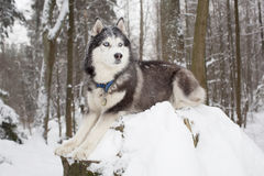Perro importante en el perro esquimal del bosque del invierno Fotos de archivo libres de regalías
