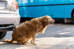 Perro infectado o alérgico que rasguña y que pica su parte posterior vía el coche imagen de archivo