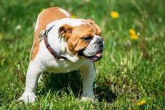 Perro inglés blanco y rojo del dogo en la hierba verde al aire libre Foto de archivo