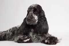 Perro inglés del perro de aguas de cocker foto de archivo libre de regalías