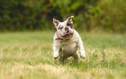 Perro inglés del dogo foto de archivo
