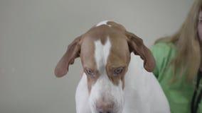Perro inglés del indicador en clínica veterinaria Mujer veterinaria con el strethoscope que mira el perro hermoso examining almacen de video