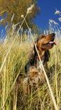 Perro inglés del perro de aguas de cocker fotografía de archivo
