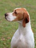 Perro inglés del puntero Imagenes de archivo