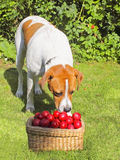 Perro inquisitivo Imagen de archivo libre de regalías