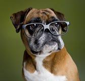 Perro inteligente del boxeador Fotos de archivo