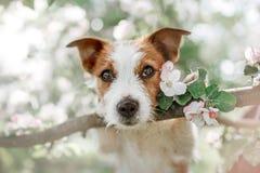 Perro Jack Russell que se sienta en un árbol Fotografía de archivo