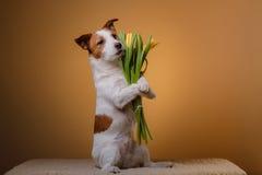 Perro Jack Russell Terrier con las flores Fotos de archivo