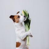 Perro Jack Russell Terrier con las flores Foto de archivo libre de regalías