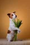 Perro Jack Russell Terrier con las flores Imagen de archivo