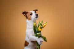Perro Jack Russell Terrier con las flores Imagen de archivo libre de regalías