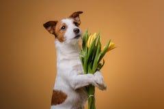Perro Jack Russell Terrier con las flores Fotos de archivo libres de regalías