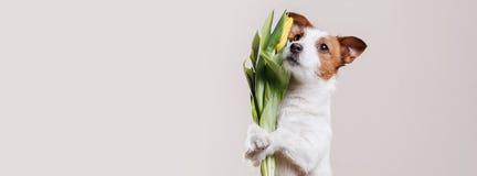 Perro Jack Russell Terrier con las flores Imágenes de archivo libres de regalías