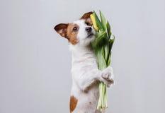 Perro Jack Russell Terrier con las flores Fotografía de archivo libre de regalías