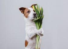 Perro Jack Russell Terrier con las flores Imagenes de archivo