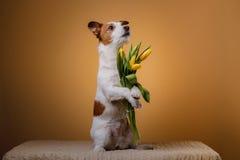 Perro Jack Russell Terrier con las flores Fotografía de archivo