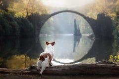 Perro Jack Russell Terrier en el puente de piedra Foto de archivo