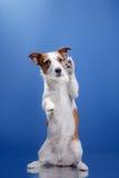Perro Jack Russell Terrier en un fondo azul fotos de archivo